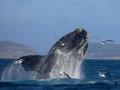 whales_ocean_safaris_plettenberg_(14)_[640x480]